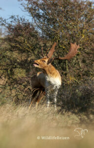 Een burlend mannelijk damhert