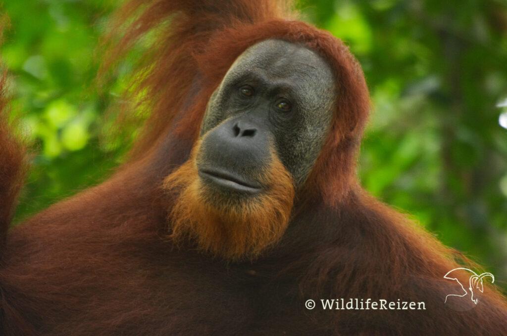 Een Close-up van een Sumatraanse orang-oetan