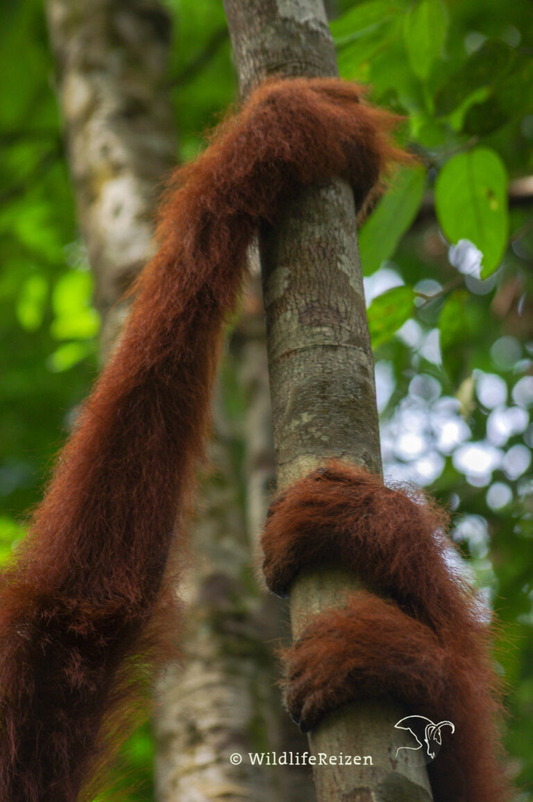 De armen van een orang-oetan