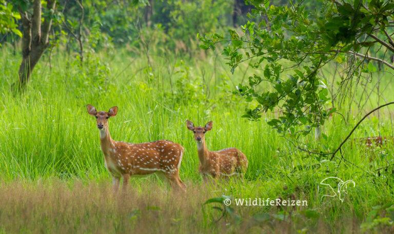 Twee axisherten in Chitwan nationaal park, Nepal