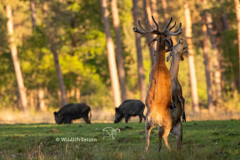 Vechtende mannelijke edelherten in een van de natuurgebieden op de Veluwe in Nederland