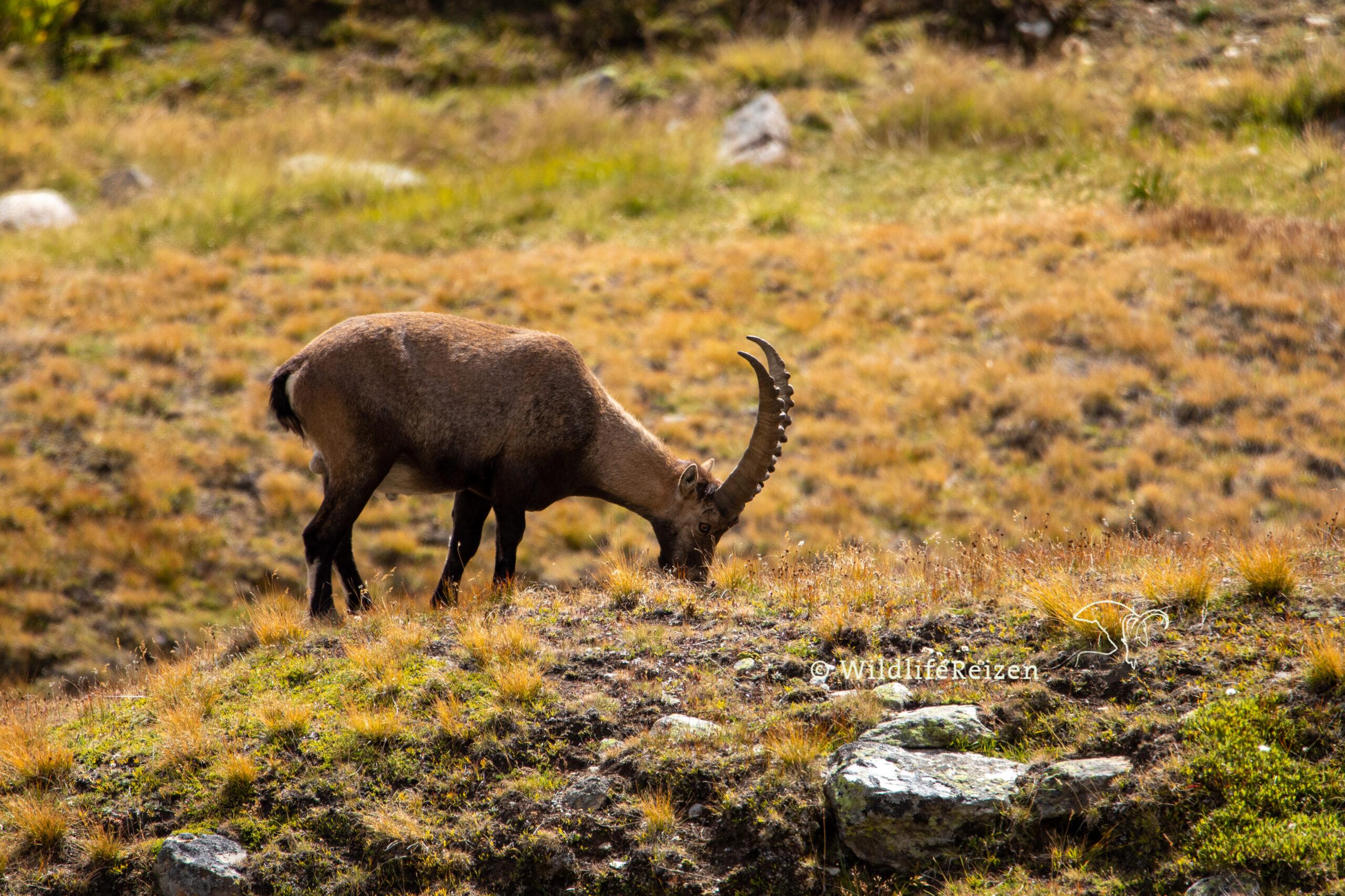 "Italië: Een Europese ""Wildlife Hotspot"""