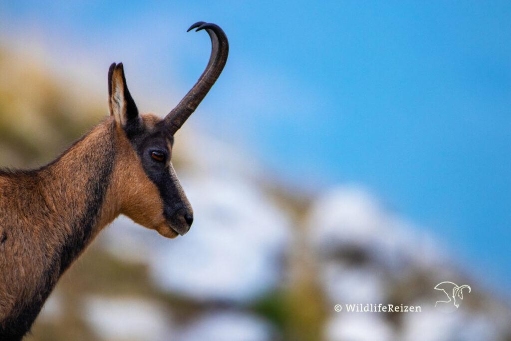 Apennijnengems in Nationaal park d'Abruzzo, Lazio e Molise. Een diersoort wat altijd op onze wildlife bucketlist stond