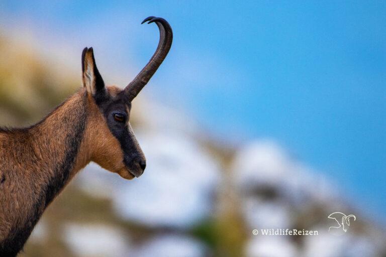 Apennijnengems in Nationaal park d'Abruzzo, Lazio e Molise