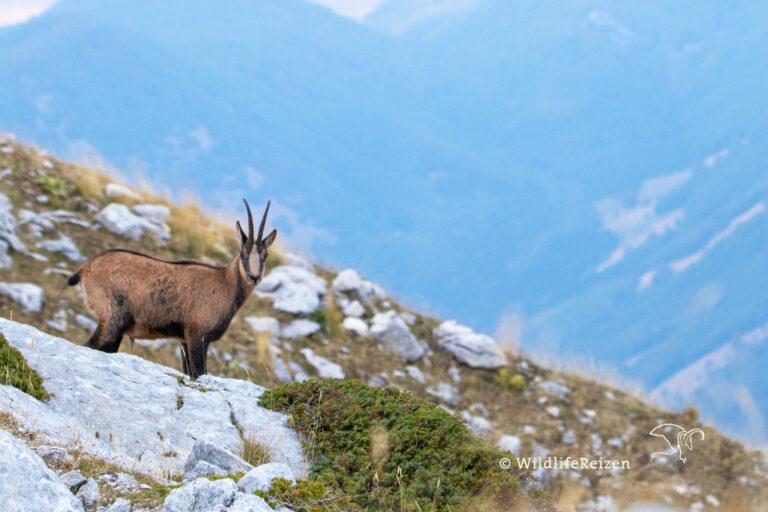 Een gems in nationaal park d'abruzzo