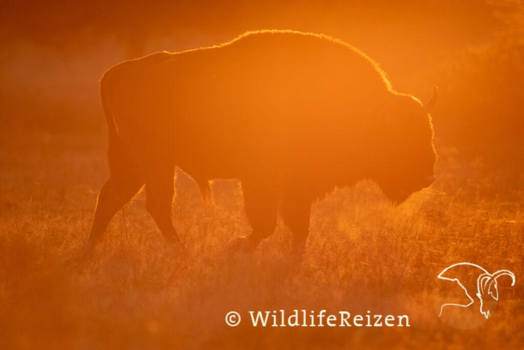 Een wisent tijdens zonsondergang