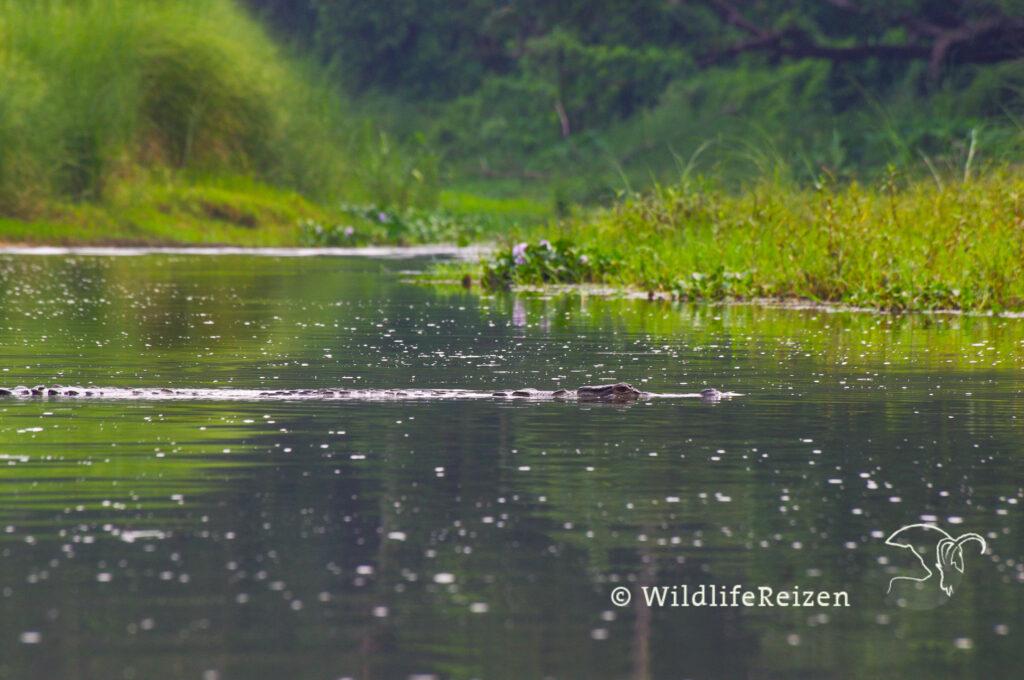 Een gaviaal zwemt in de rivier