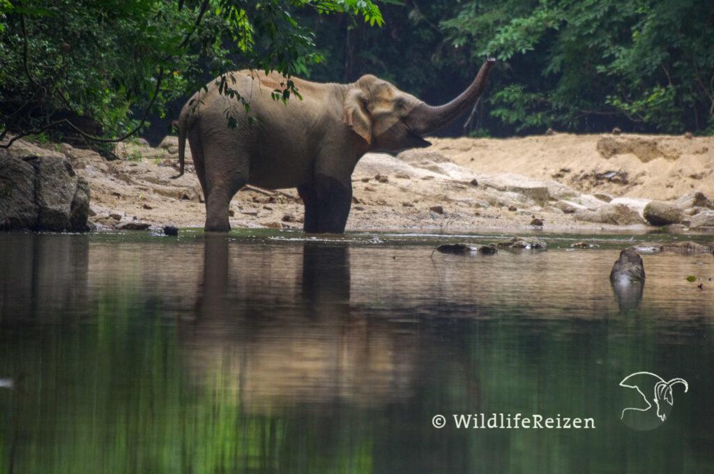 Een Aziatische olifant
