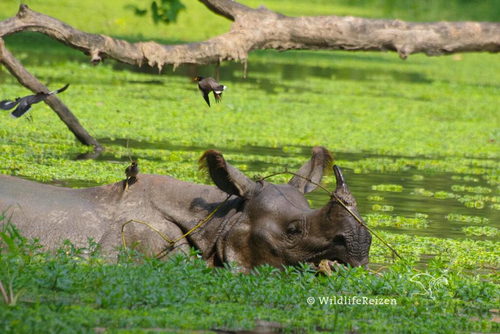 Een Indische neushoorn in het water