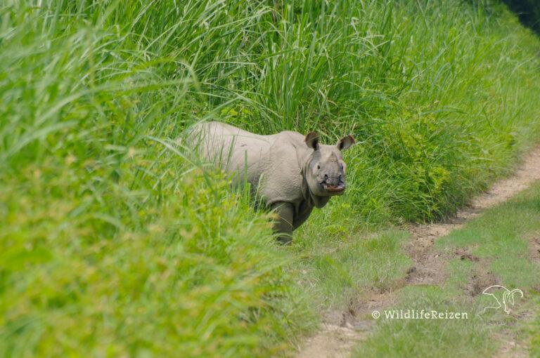 Een Indische neushoorn in het hoge gras