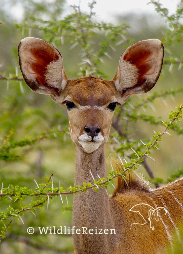 Close up van een koedoe