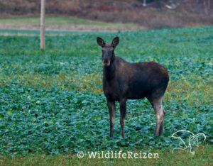 Een foto van een eland in een Zweedse akker