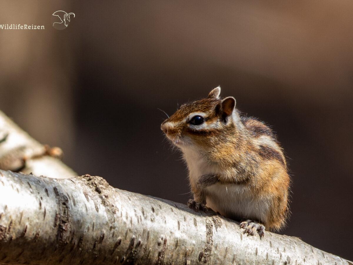 Een Siberische grondeekhoorn op een tak