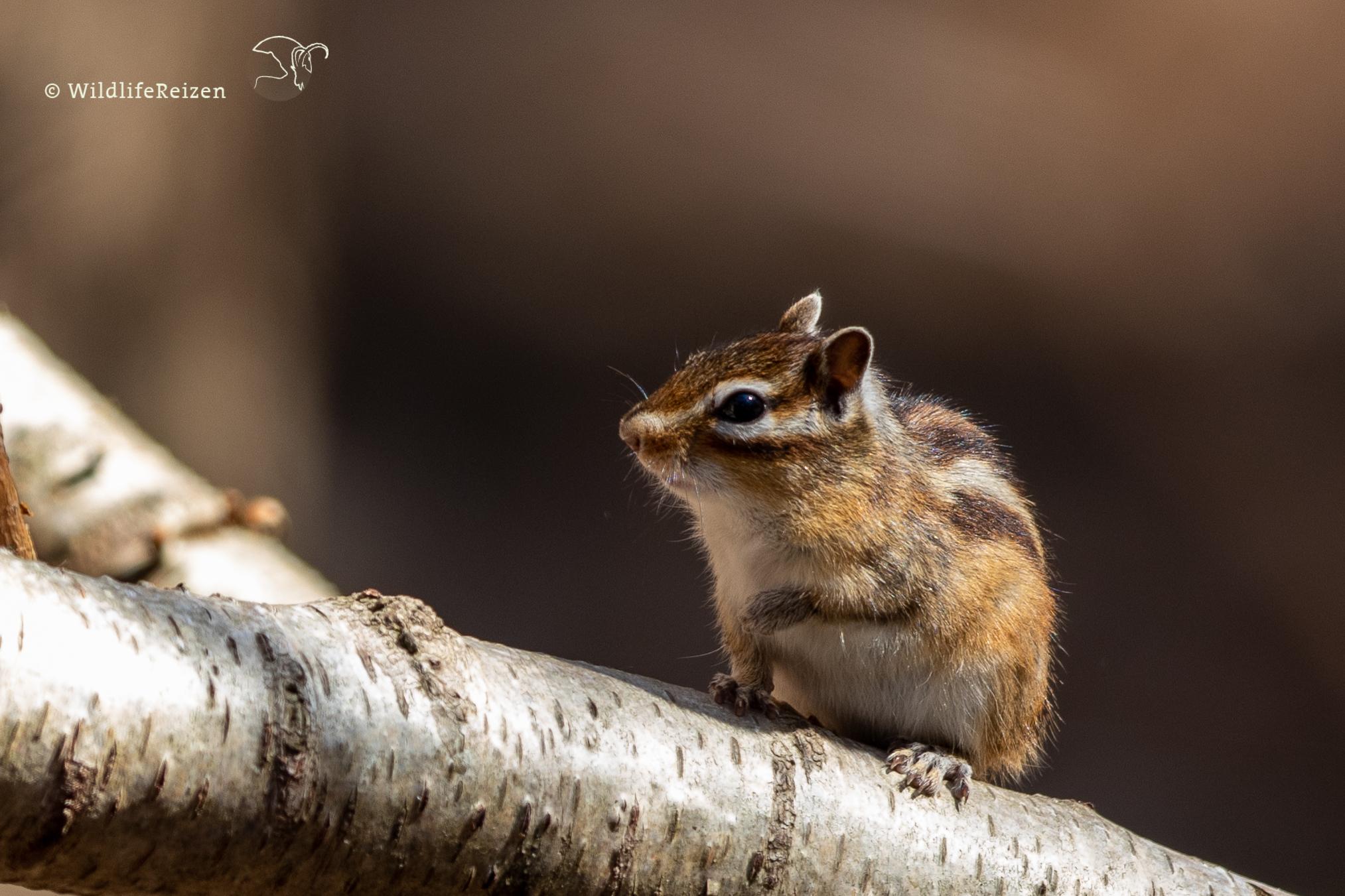 Siberische grondeekhoorns