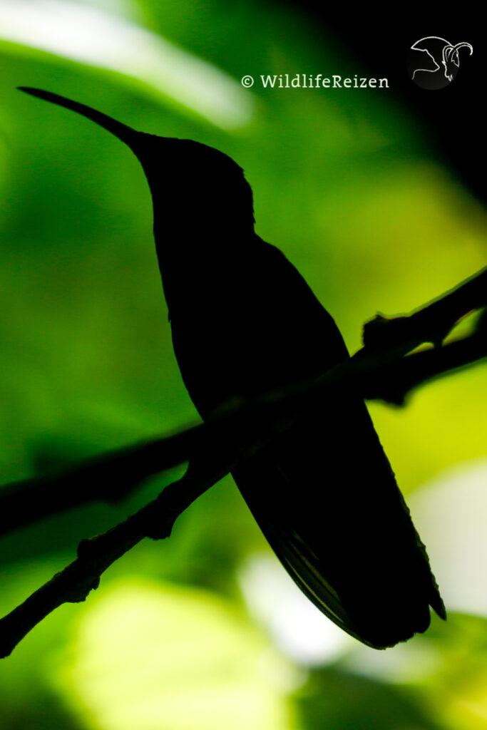 Een silhoutte foto van een kolibrie