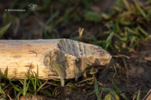 Knaagsporen van een bever