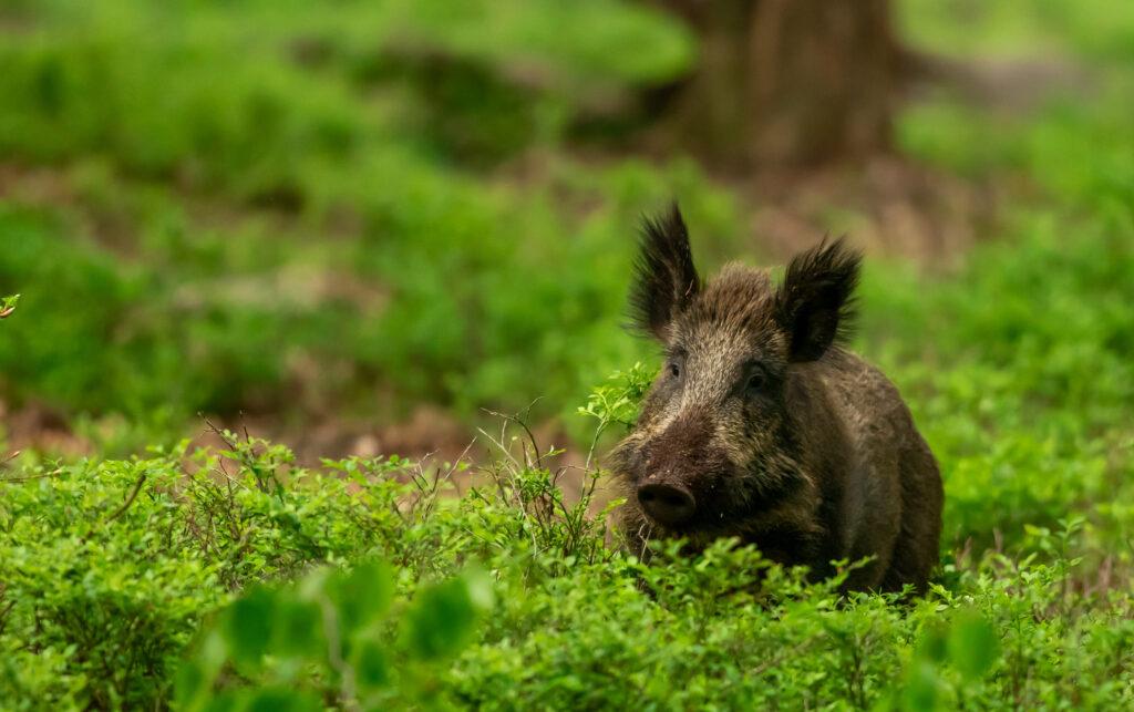 Een wild zwijn in een van de mooiste natuurgebieden op de veluwe