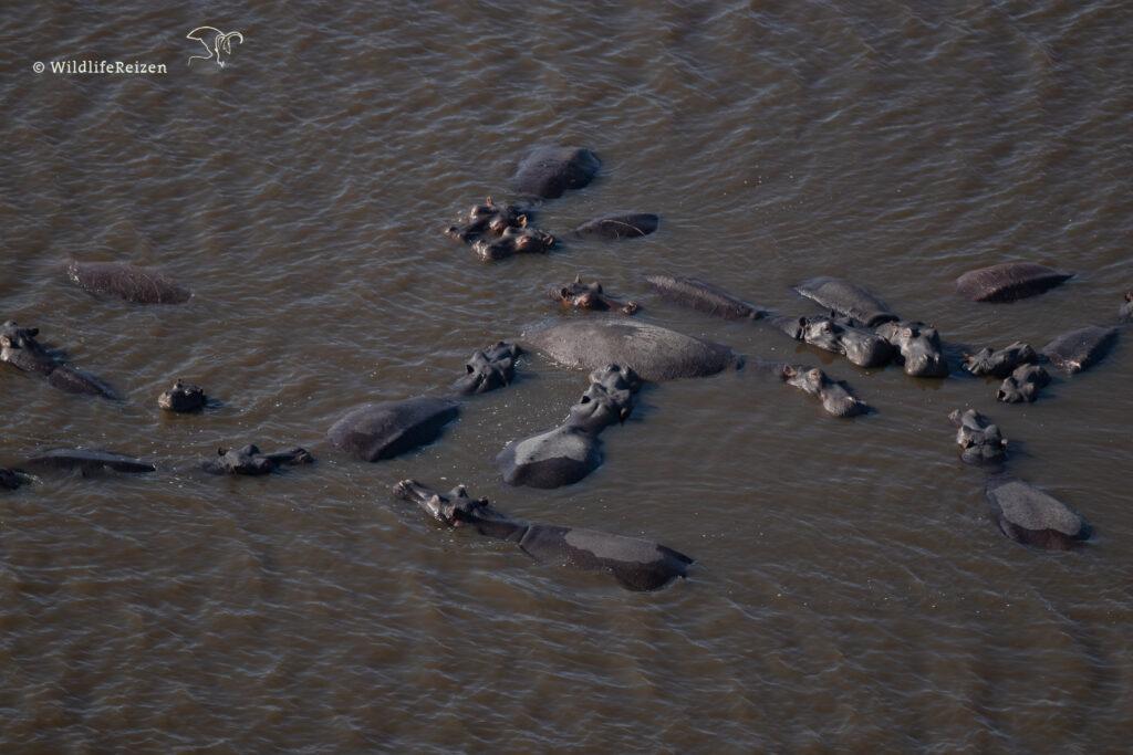 Nijlpaarden in het water, vanuit de lucht