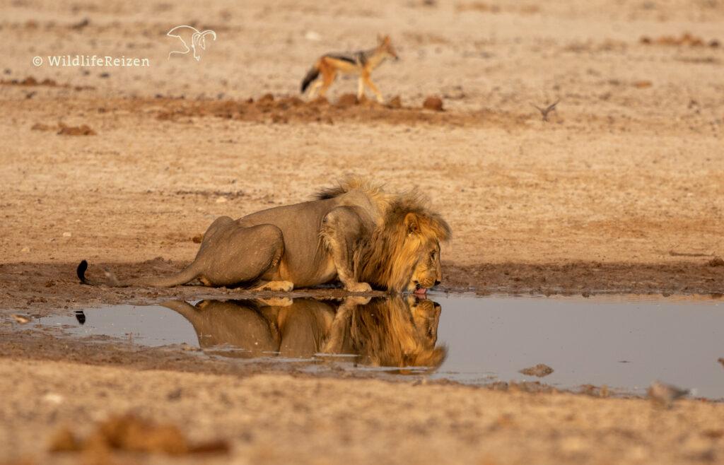Drinkende mannelijke leeuw, met weerspiegeling in het water